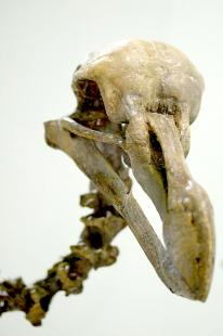 Dodo-skeleton-head.jpg