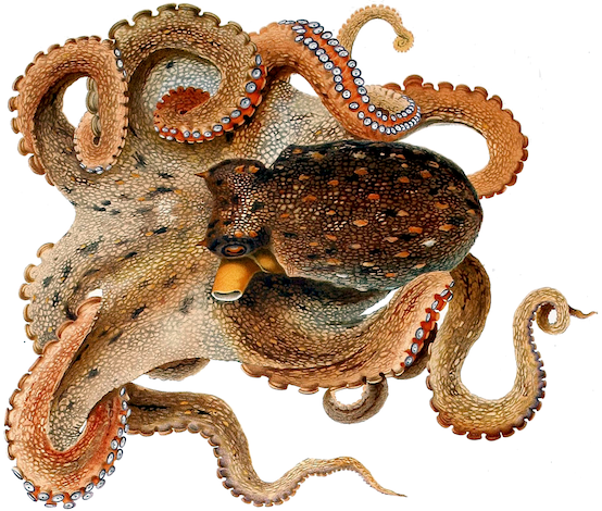 Octopus.png