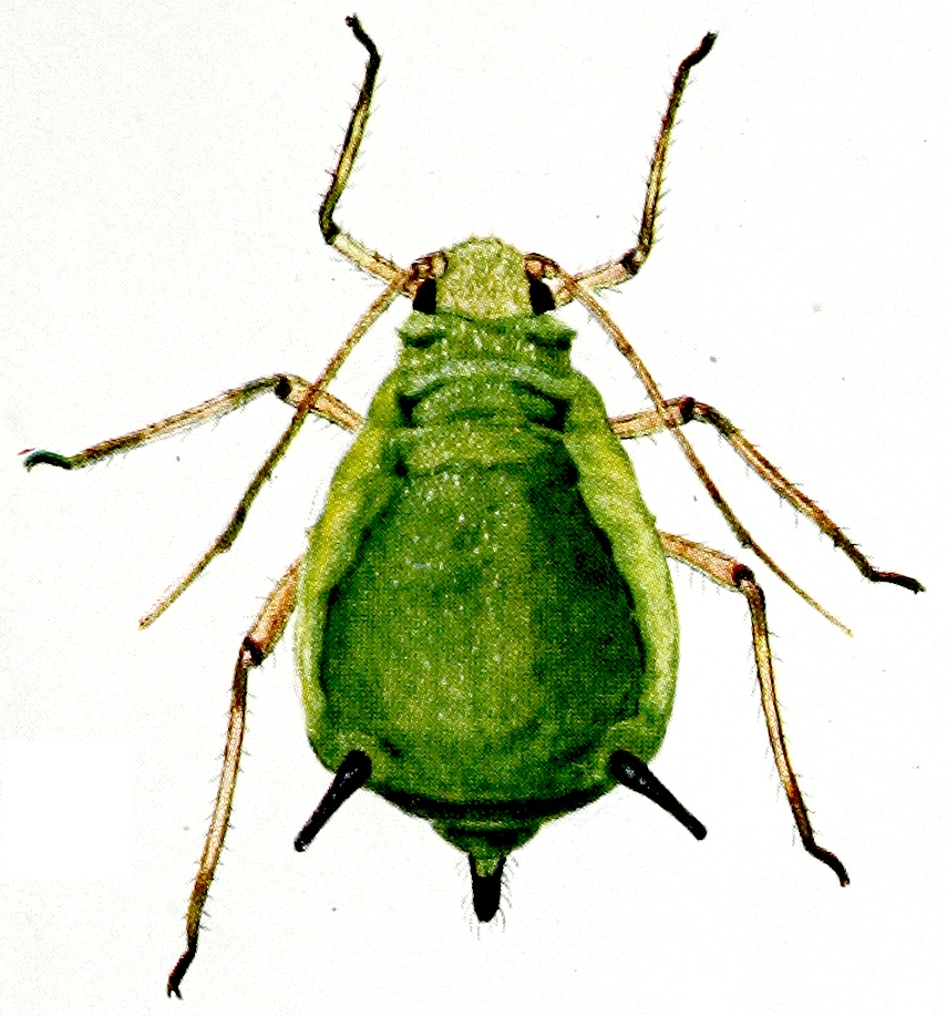 Aphid A
