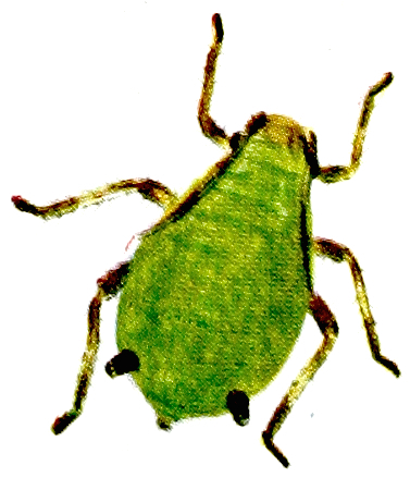Aphid B