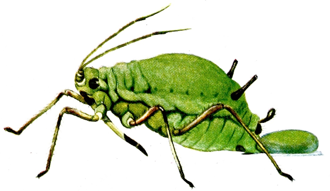 Aphid D