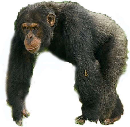 Chimpanzee Male White Background