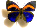 butterfly-blue-orange.png