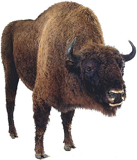 Bison_dessin2.jpeg